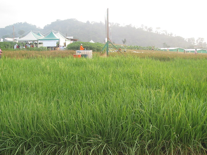 Grwoing rice in Cameroon (PHOTO: ClimateReporters/Aaron Kaah