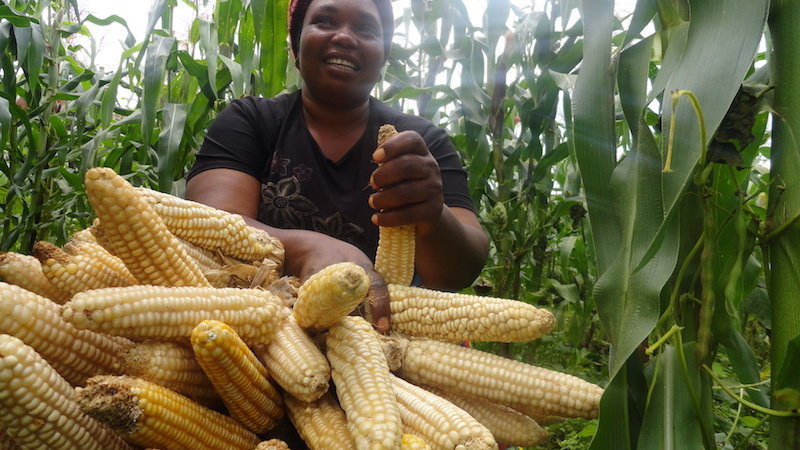Harvesting maize in Africa. Censuses also involve collecting data on land use and irrigation (PHOTO: ClimateReporters/Aaron Kaah)