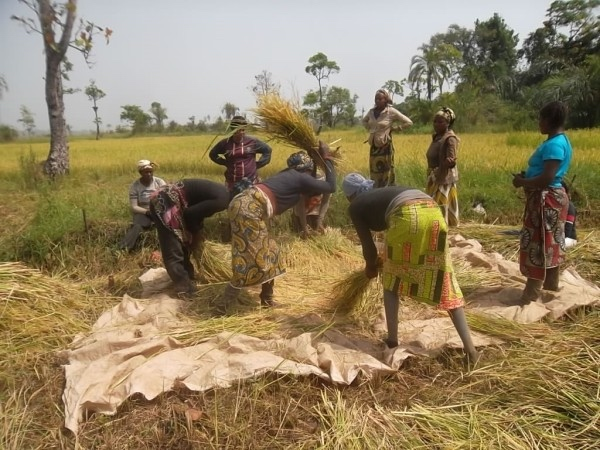 Farmers working the rice harvest (PHOTO: ClimateReporters/Elias Ntungwe)
