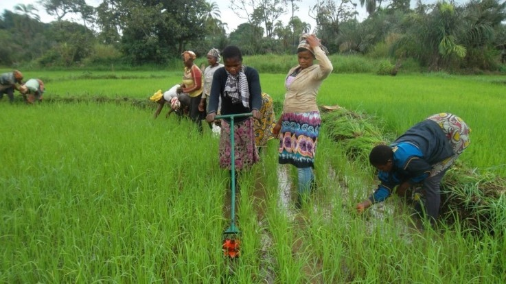 One of the farmers harvesting rice in Ndop Northwest of Cameroon (PHOTO: ClimateReporters/Elias Ntungwe)