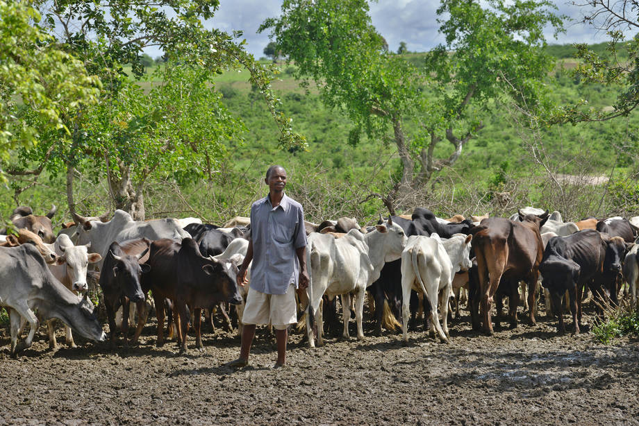 A livestock owner in Kenya with his remaining cattle after drought killed two-thirds of his herd. (PHOTO: FAO)