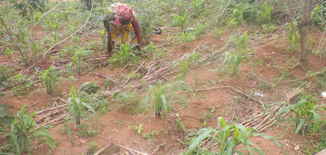 Newly cultivated maize and cassava farm in Molyko Buea