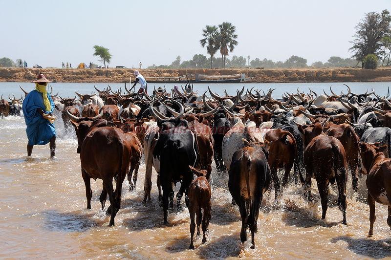 Mali, Le Djaral de Diafarabe, transhumance des troupeaux Peul (PHOTO: Kairosimages)