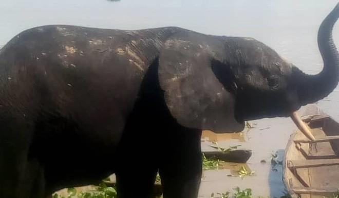 One of the strayed elephants